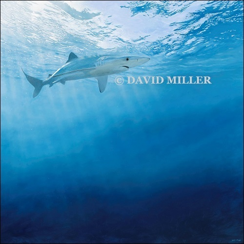 David Miller -  'Deep Blue ' Shark Print