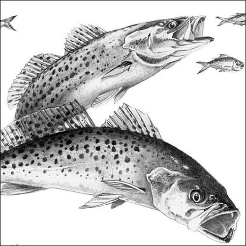 Steve Whitlock 'Sea Trout Pencil Illustration'