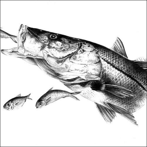 Steve Whitlock 'Snook Pencil Illustration'