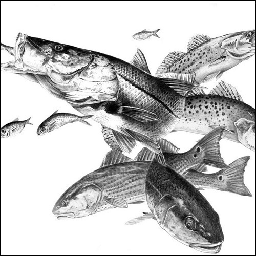 Steve Whitlock 'Sea Trout, Redfish, Snook Slam Pencil Illustration'