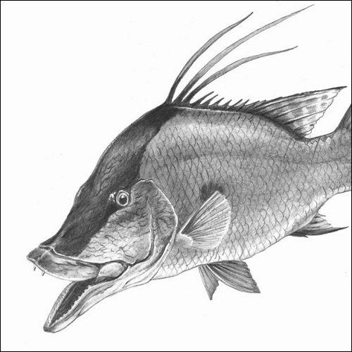 Steve Whitlock 'Hogfish Pencil Illustration'