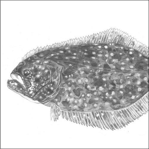 Steve Whitlock 'Flounder Pencil Illustration'