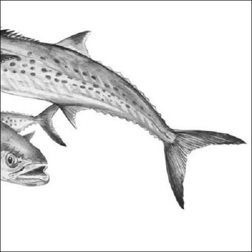 Steve Whitlock 'Spanish Mackerel Pencil illustration'