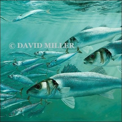 David Miller- 'Bass, Mackerel and Sand Eels'  Limited Edition Print