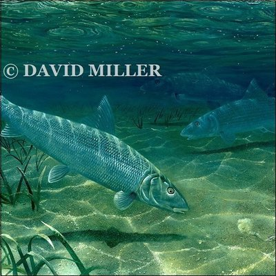 David Miller - 'On the Flats' Bonefish Print