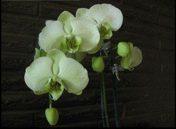 Green Orchids, 11