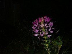 Night Flower, 11