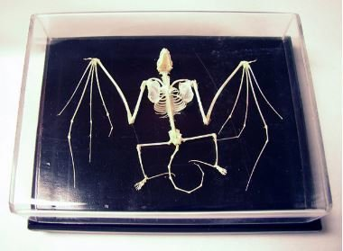 Bat Skeleton Specimen, Pipistrellus Abramus, Priced Each