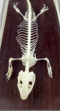 Lizard Skeleton Specimen, Eumences Chinesis (Skink), Priced Each
