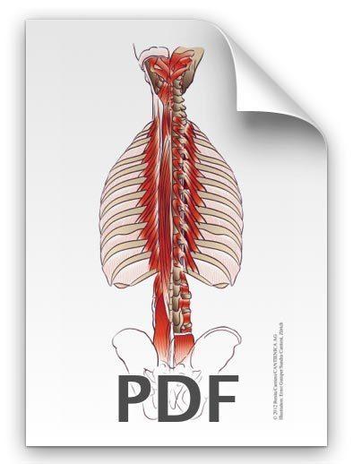 PDF: Rückenmuskulatur