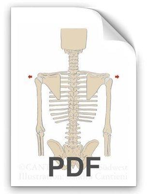 PDF: Schulterblätter