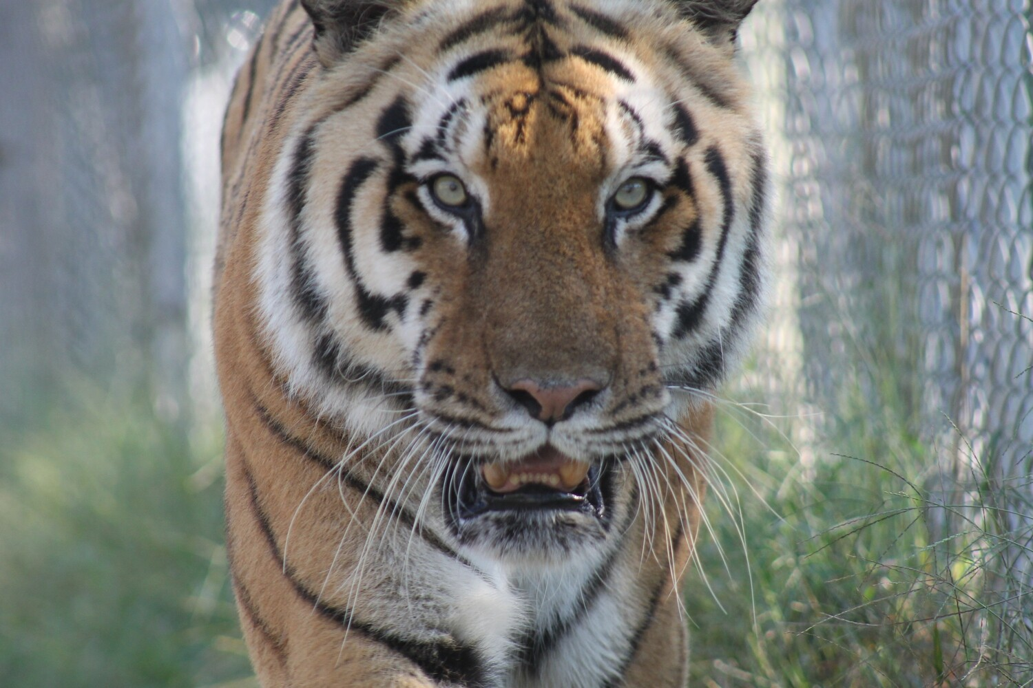 Feed a Tiger for a Day