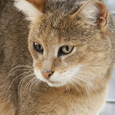 Jungle Cat Ringtone 00050