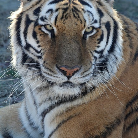Tiger Chuffling Ringtone 00052