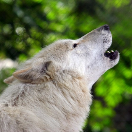 Wolves Howling Ringtone 00051