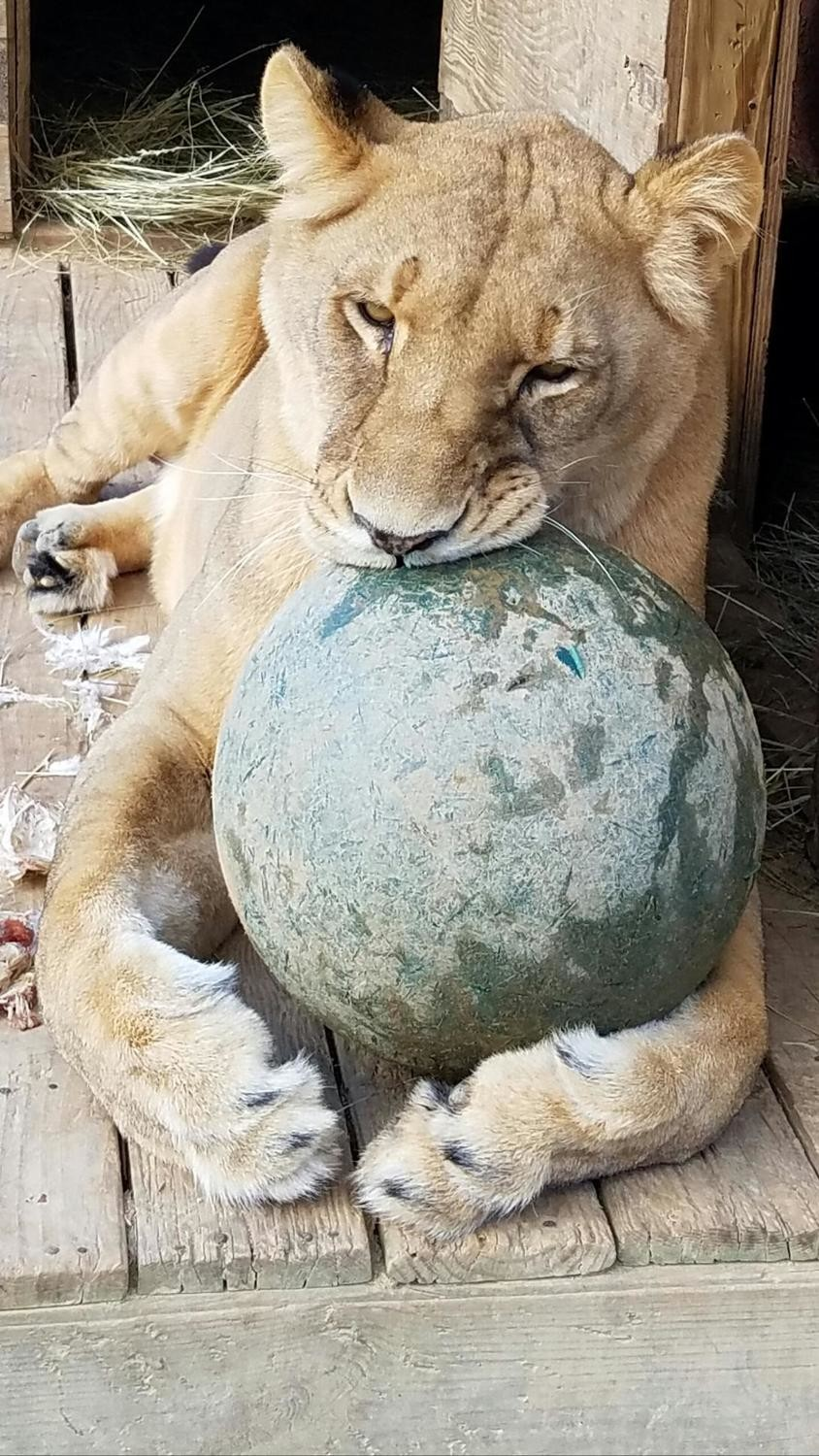 Boomer Ball for a Big Cat