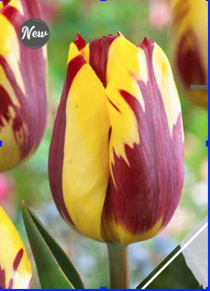 Helmar -Bulbs