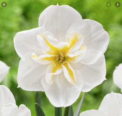 Lemon Beauty - Bulbs