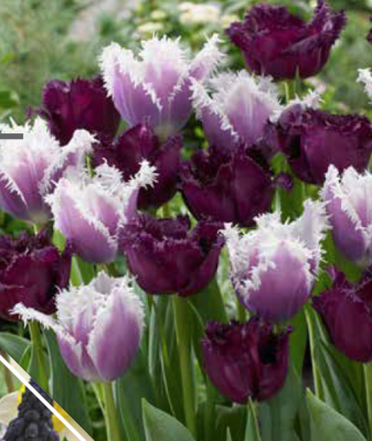 Feathered Fascination - Bulbs