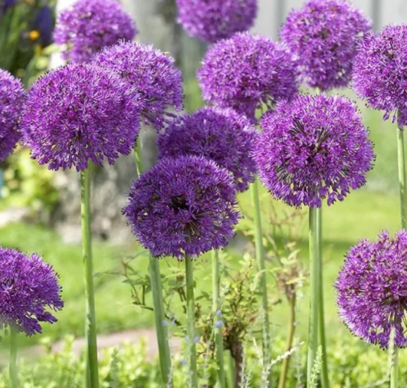 Alliums Purple Sensation - Bulbs
