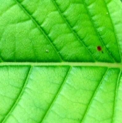 Horned Green