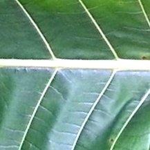 Garden White Maeng Da